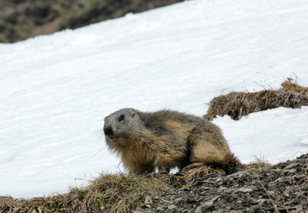 Marmotte in Val Thorens
